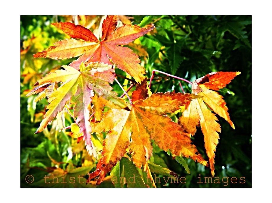Autumn Acers...